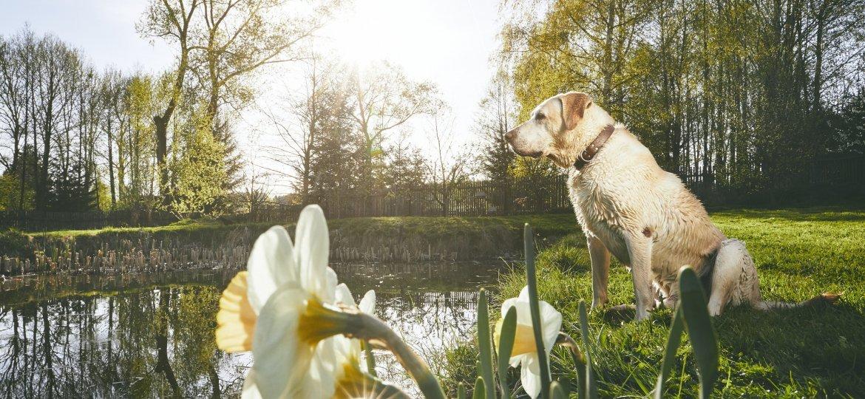 Labrador in spring nature