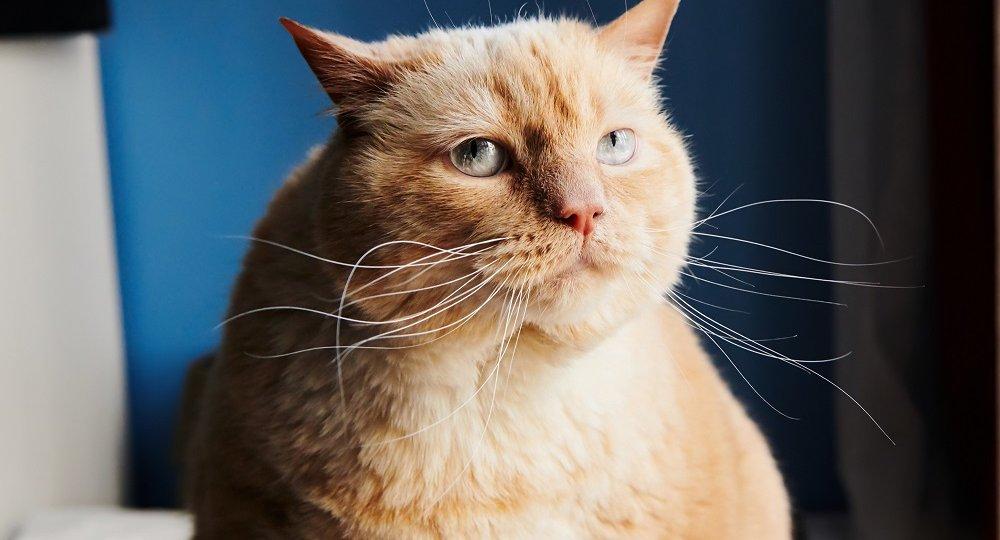 Huge ginger cat looking away