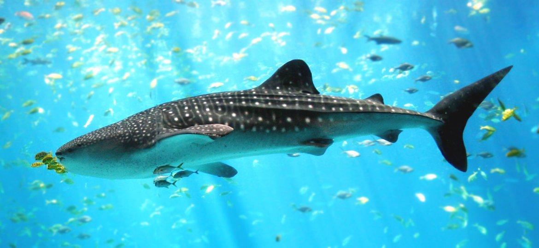 Whale_shark_Georgia_aquarium