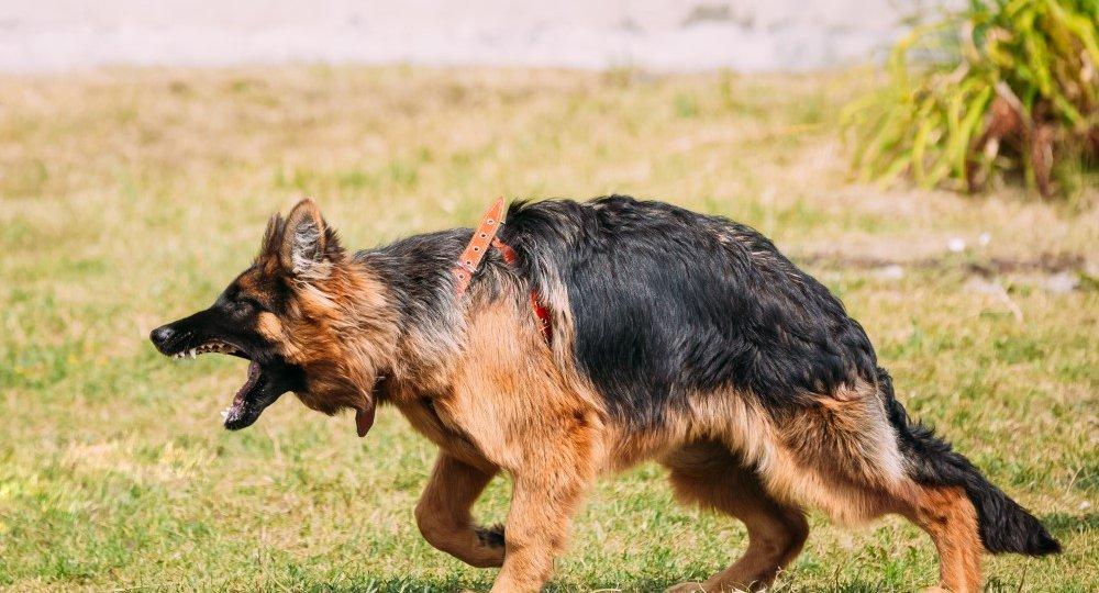 anger-aggressive-long-haired-german-shepherd-PHYMGNN