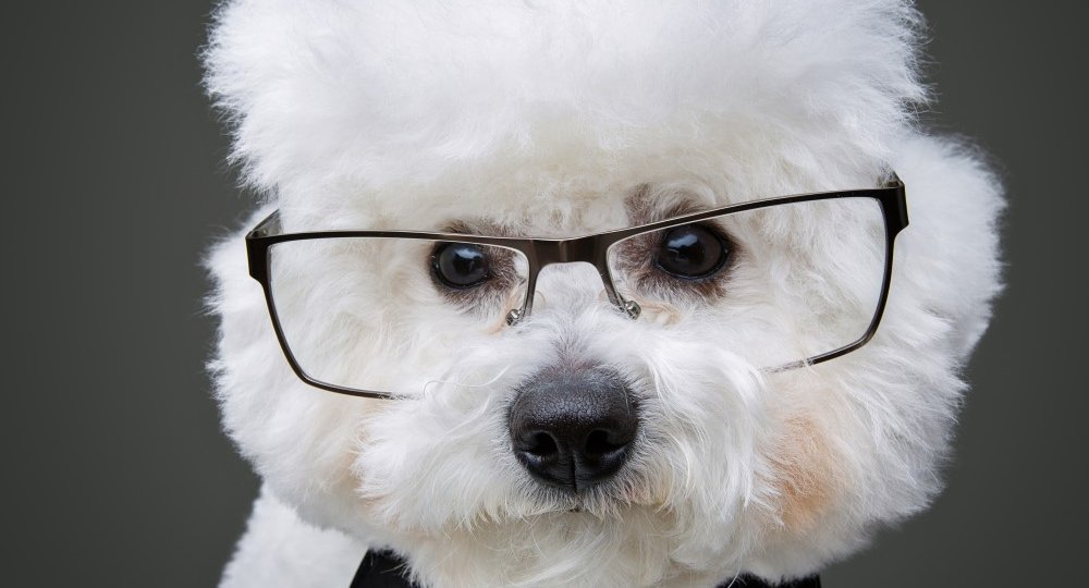 beautiful-bichon-frisee-dog-in-bowtie-and-glasses-6Q84SYT