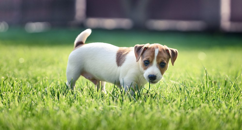 Jack russel terrier puppy on green lawn